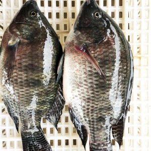 Frozen Tilapia Fish in Africa
